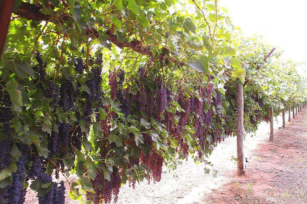 Nho dùng để sản xuất nho khô thường là các giống Raisins, Sultanas hay Currants. Các giống này quả nhỏ, ngọt, màu đỏ hoặc đen