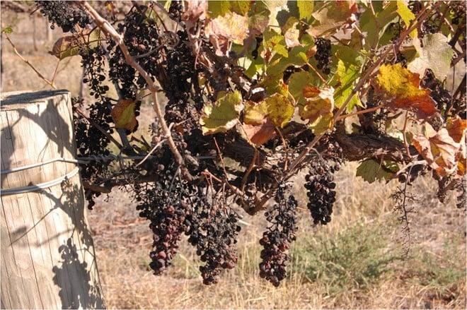 Nho được sấy khô dưới ánh nắng tự nhiên 40 độ C liên tục trong vòng 1 tháng trên dàn nguyên lá, nguyên cành