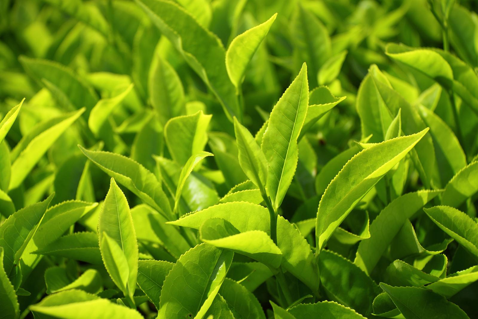 Gel rửa mặt trị mụn Dr. C.Tuna Tea Tree Face Wash - Farmasi có chiết xuất từ tinh dầu cây trà Úc nên an toàn cho sức khỏe làn da khi sử dụng