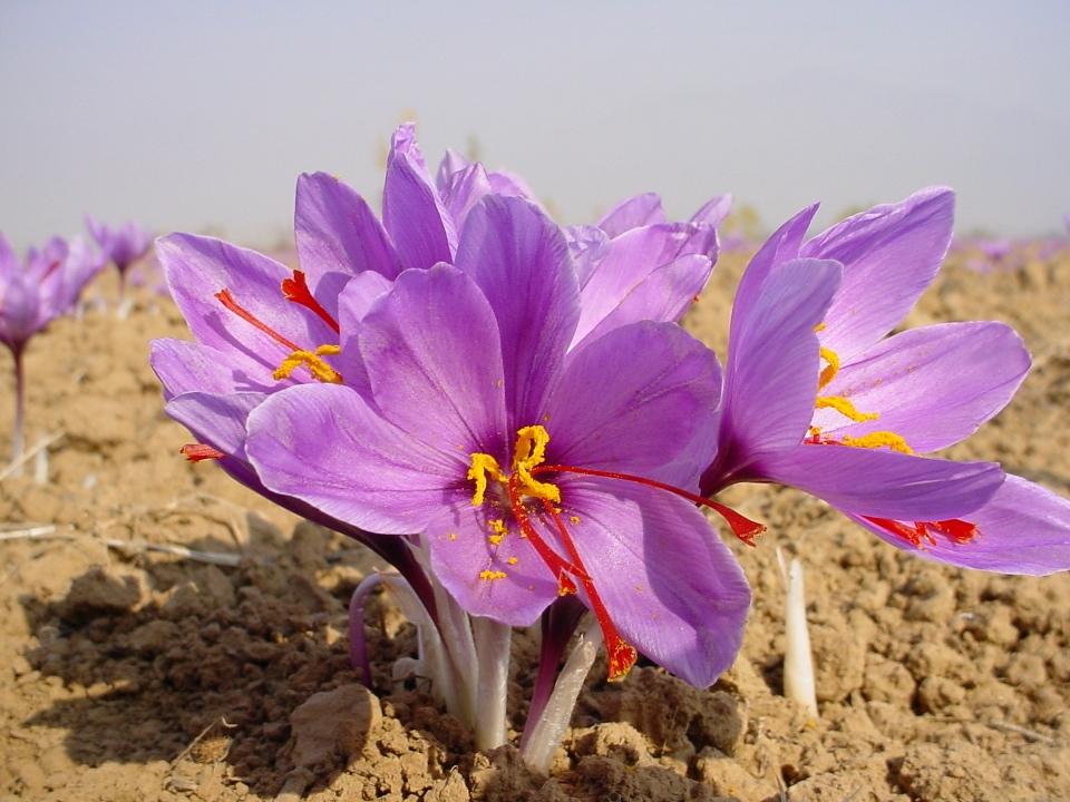 Nghệ Tây Là Gì? Giả Mã Cơn Sốt Dùng Nhụy Hoa Nghệ Tây (Baby Saffron) Làm Đẹp