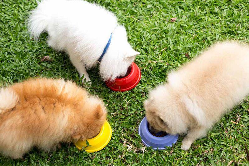 Sử dụng thức ăn hạt cho chó trưởng thành giống nhỏ