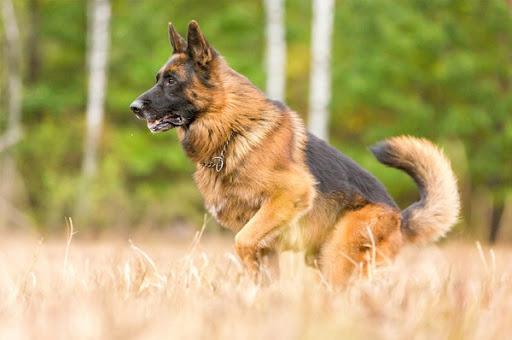 Thức ăn hạt cho chó Becgie hỗ trợ tăng cường sức khỏe và sức đề kháng