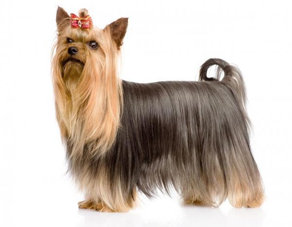 MaxPower Yorkshire Terrier Adult hỗ trợ chăm sóc lông và da