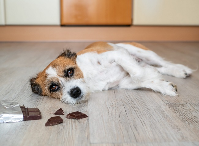 Các dấu hiệu chó bị ngộ độc socola